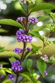 Schönen Hintergrund des grün und violett Samen japanische Kräuter Baum — Stockfoto