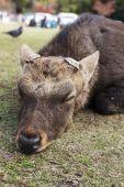 Big Sika Male deer cut antler sleep and lying in the park — Foto Stock