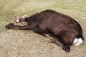 Big Sika Male deer cut antler sleep and lying in the park — Stok fotoğraf