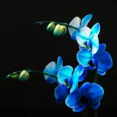 Blue orchid - Royal family in studio light — Stock Photo