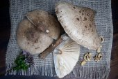 Parasol agaric mushroom — Stock Photo