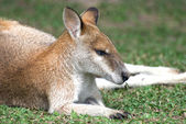 Sleeping small cute red kangaroo in Australia — Zdjęcie stockowe