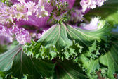 Beautiful boossom flower of green and purple lettuce — Stock Photo