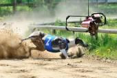 Greyhound Race — Stock Photo