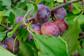 Plums in a Tree — Stock Photo