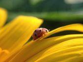 黄色の花にてんとう虫のクローズ アップ — ストック写真