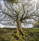 Big Tree, Uplands, Scotland — Stock Photo