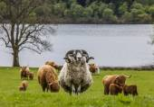 Horns and Horns - Sheep and Cattle, Scotland — Stock Photo