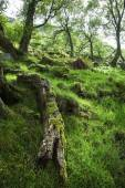 Fallen Tree in Green, Mossy Forest, Scotland — Stock Photo