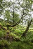 Spring  in green, mossy Forest, Scotland — Stock Photo