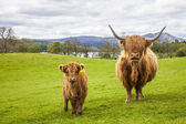 Family on the Meadow - Scottish Cattle and Calf — Stock Photo