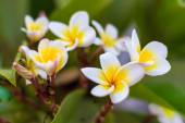 Frangipani many flowers closeup — Stock Photo