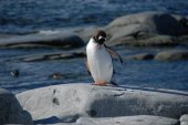 Young penguin on the shore (Antarctic) — Foto de Stock