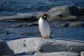 Young penguin on the shore (Antarctic) — Stock Photo