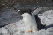 Young fluffy penguin on the shore (Antarctic) — Stockfoto