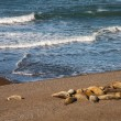 Group Of Sea Lions On Beach — Stock Photo #58910871