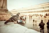 Gołąb, siedząc na placu — Zdjęcie stockowe