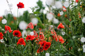Flores rojas amapolas en el campo — Foto de Stock