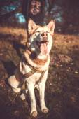 Portrait of pretty brown husky dog outdoor in the forest — Stock Photo