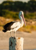 Beautiful and wise pelican standing on a post and watching around him. — Stock Photo