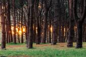 Forest at sunset.  Sunlight penetrating the magic forest. — Stok fotoğraf