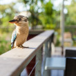 Blue and white kookaburra Australian Native bird — Stock Photo #54531777