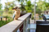 Blue and white kookaburra Australian Native bird — Photo