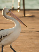 Pelican wandering around — Stock Photo