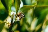 Bee gathering nectar — Foto de Stock
