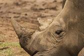 Rhinoceros having a rest — Stock Photo