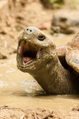 Giant  turtle open mouth — Stock Photo