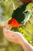 Feeding a King parrot bird — Stock Photo
