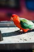 King parrot bird — Stock Photo