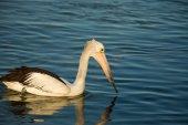 Swimming pelican at sunset — Stock Photo