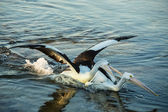 Pelican bird attacking another — Stock Photo