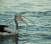 Swimming pelican at sunset — Stock Photo