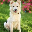 A big white dog on the grass — Stock Photo #70619833