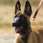 Lead belgian sheepdog shows tongue — Stock Photo #61521843