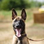 Lead belgian sheepdog portrait — Stock Photo #61521855