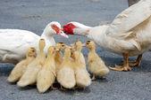 Familia del pato — Foto de Stock