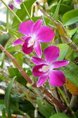 Pink orchid flower in the garden, Thailand — Stock Photo
