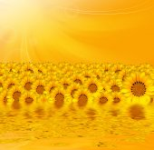 Yellow sunflowers over yellow background and reflection — Stock Photo