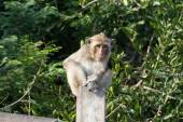 Portrait of rhesus macaque monkey — Stock Photo