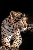 Leopard Cub 0043 — Stock Photo