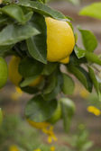 Yellow lemon hanging on tree — Stockfoto