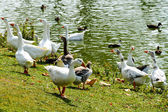 Group of gooses eating bread — Stock Photo