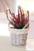 Pink heathers in basket — Stockfoto