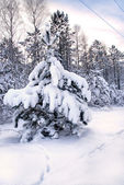 Snowy christmas trees on sunset in forest — Stock Photo