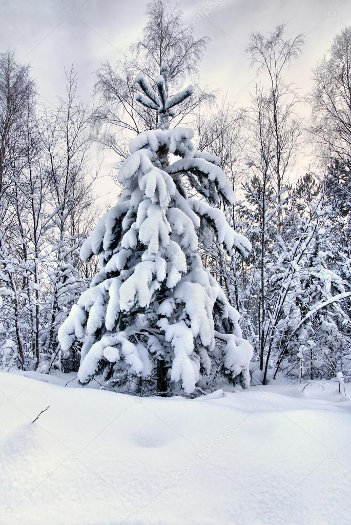rboles de navidad nevado u fotos de stock