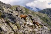 See, the man is coming! Beautiful surroundings Świnica and wild mountain chamois — Stockfoto